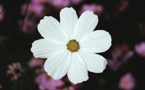 Cosmos: La flor de la comunicación